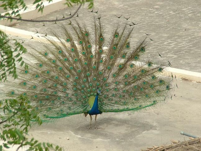 , Dancing Peacock, DogSpot.in