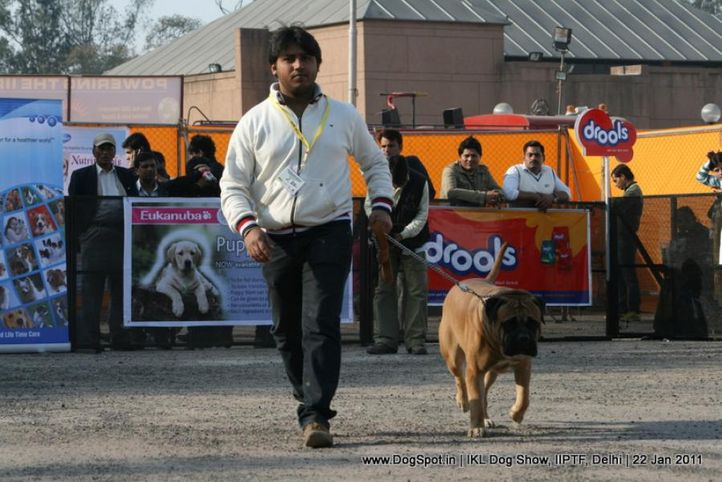 all breed championship,mastiff,, Day 2 IKL Show IIPTF, DogSpot.in