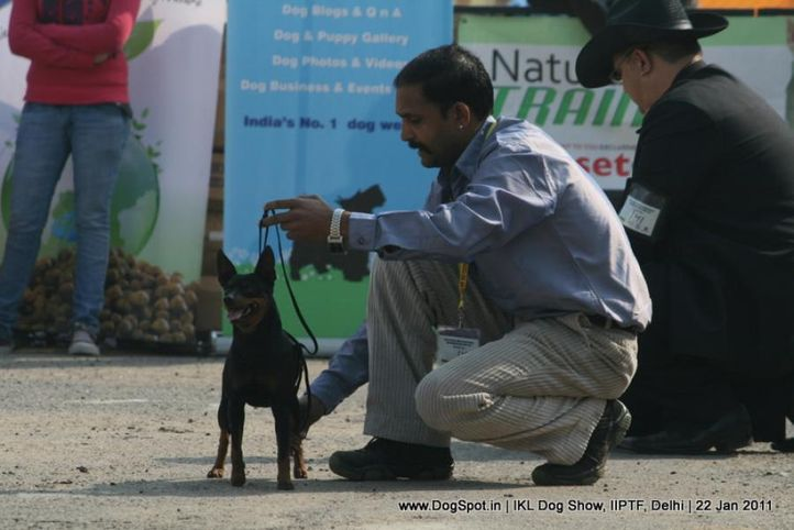 all breed championship,minpin,, Day 2 IKL Show IIPTF, DogSpot.in