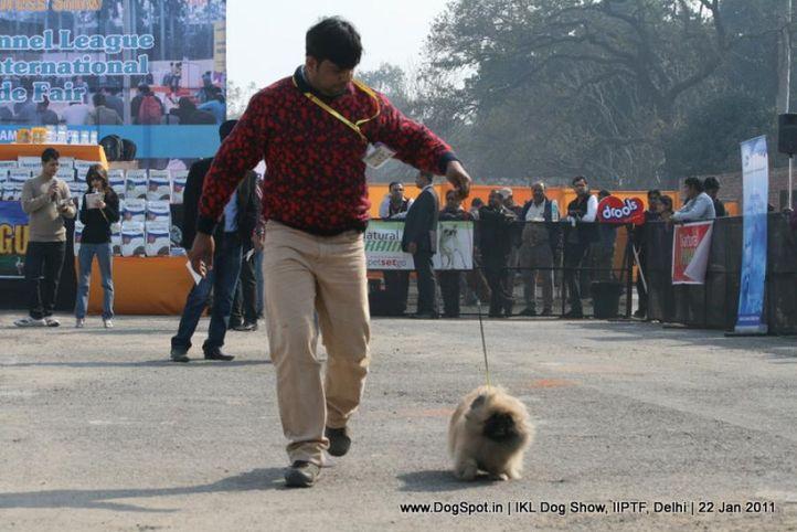 all breed championship,pekingese,, Day 2 IKL Show IIPTF, DogSpot.in