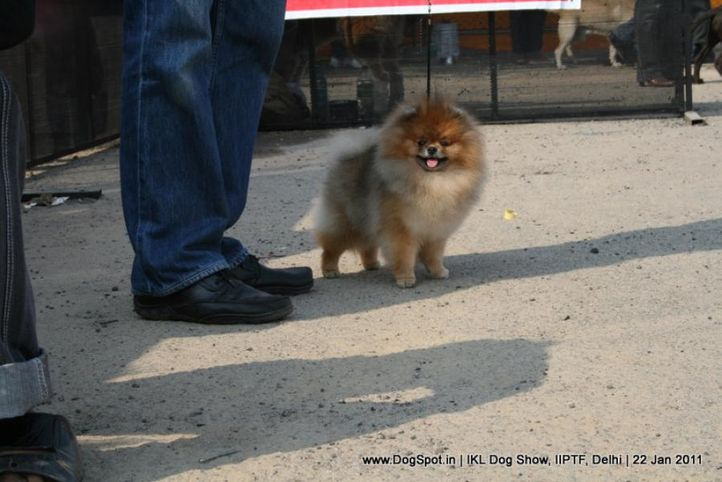 all breed championship,pomeranian,, Day 2 IKL Show IIPTF, DogSpot.in