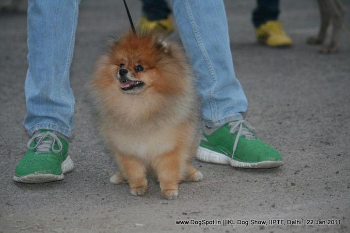 all breed championship,pomeranian,, Day 2 IKL Show IIPTF, DogSpot.in