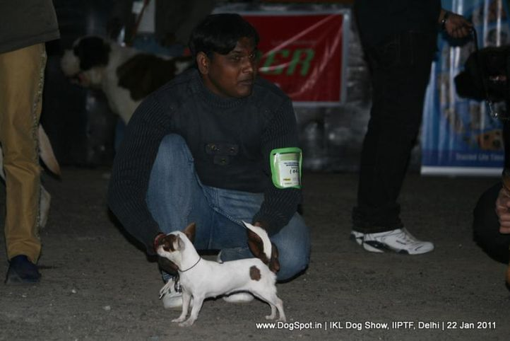all breed championship,chihuahua,, Day 2 IKL Show IIPTF, DogSpot.in