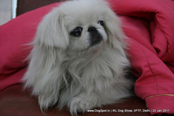 all breed championship,tibetian spaniel,, Day 2 IKL Show IIPTF, DogSpot.in