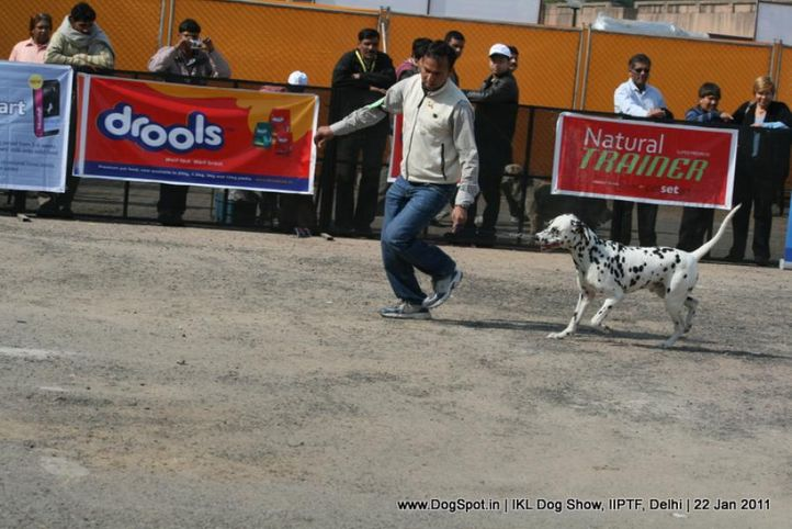 all breed championship,dalmatian,, Day 2 IKL Show IIPTF, DogSpot.in