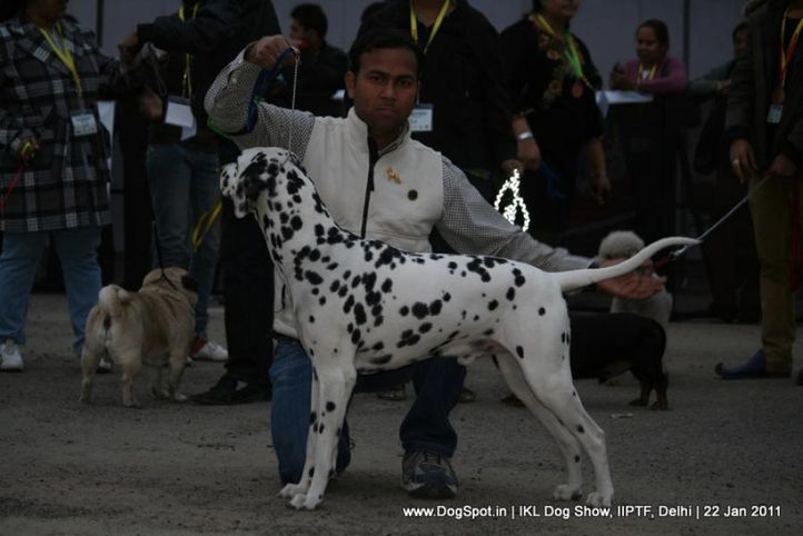 all breed championship,dalmatian,, Day 2 IKL Show IIPTF, DogSpot.in