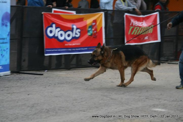 all breed championship,gsd,, Day 2 IKL Show IIPTF, DogSpot.in