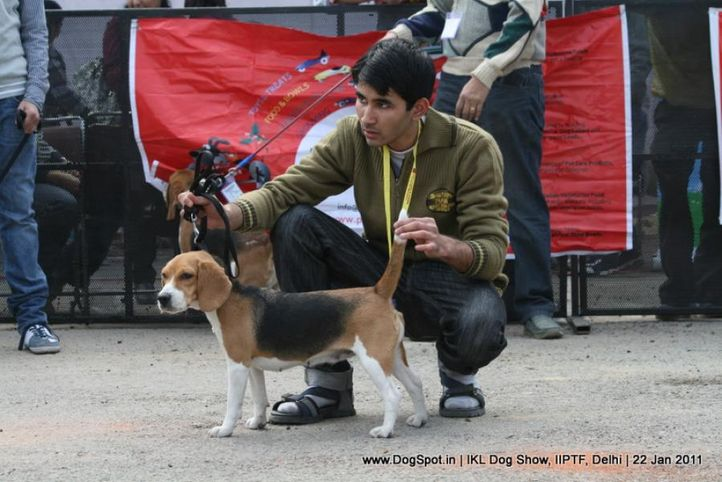 all breed championship,beagle,, Day 2 IKL Show IIPTF, DogSpot.in
