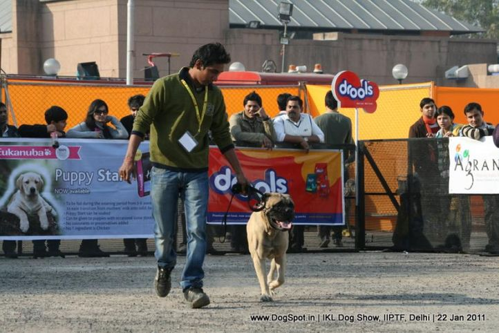 all breed championship,mastiff,, Day 2 IKL Show IIPTF, DogSpot.in