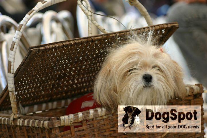 apso,, Dehradun Dog Show 2008, DogSpot.in