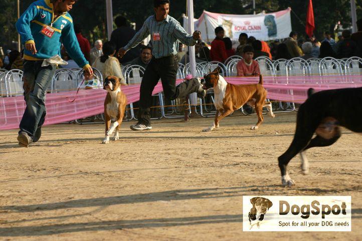 boxer,, Dehradun Dog Show 2008, DogSpot.in