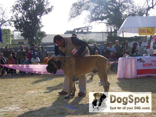 mastiff,, Dehradun Dog Show 2008, DogSpot.in