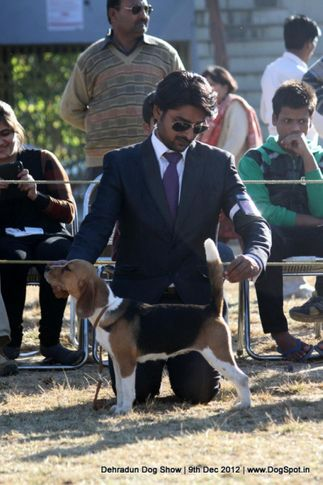 beagle,sw-73,, Dehradun Dog Show 2012, DogSpot.in
