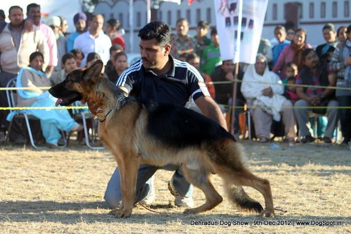 german shepherd dog,sw-73,, Dehradun Dog Show 2012, DogSpot.in
