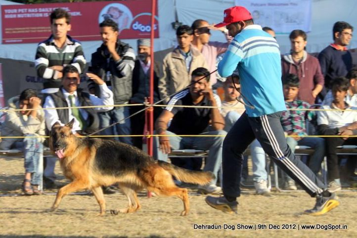 ex-231,german shepherd dog,sw-73,, NANCY, German Shepherd Dog, DogSpot.in