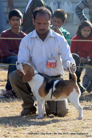 beagle,ex-57,sw-73,, ROSY'S CHELSIA, Beagle, DogSpot.in