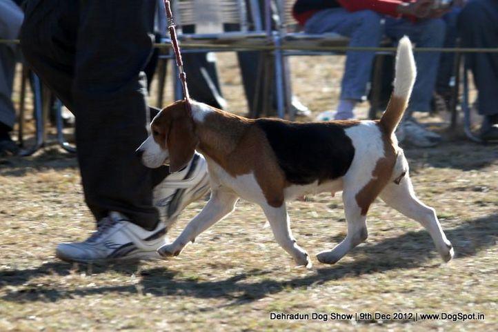 beagle,ex-60,sw-73,, HOLLY, Beagle, DogSpot.in