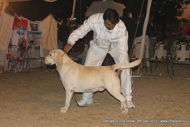 ex-100,labrador retriever,sw-73,, VIDANE'S ALL THAT JAZZ, Labrador Retriever, DogSpot.in