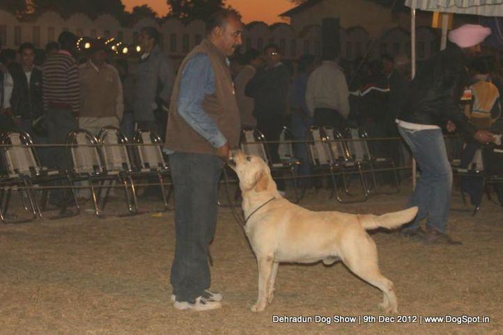 ex-99,labrador retriever,sw-73,, IND. CH. ROSY'S DESIGN MAKER, Labrador Retriever, DogSpot.in