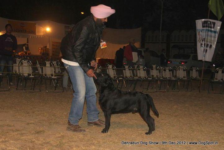 ex-92,labrador retriever,sw-73,, MOHINDERA'S TOYRCH, Labrador Retriever, DogSpot.in