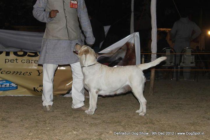 ex-113,labrador retriever,sw-73,, VIDANE'S GOOD & PLENTY, Labrador Retriever, DogSpot.in