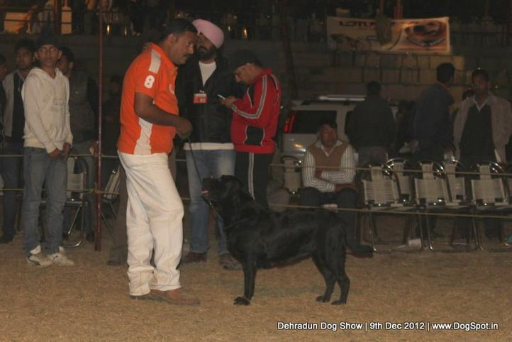 labrador retriever,sw-73,, Dehradun Dog Show 2012, DogSpot.in