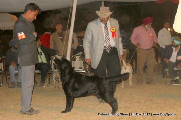 ex-97,labrador retriever,sw-73,, T'JOKER FOR YOU SUN IN THEIR EYES, Labrador Retriever, DogSpot.in