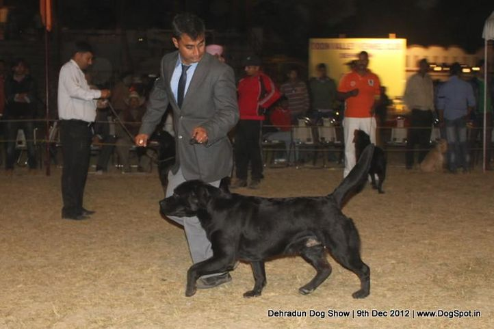 ex-97,labrador retriever,sw-73,, T'JOKER FOR YOU SUN IN THEIR EYES, Labrador Retriever, DogSpot.in