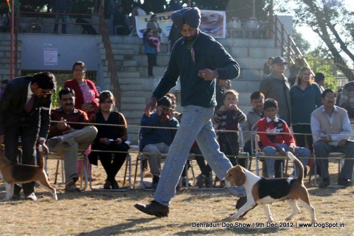 beagle,sw-73,, Dehradun Dog Show 2012, DogSpot.in