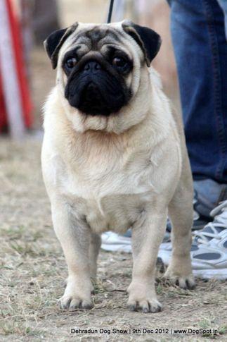 pug,sw-73,, Dehradun Dog Show 2012, DogSpot.in