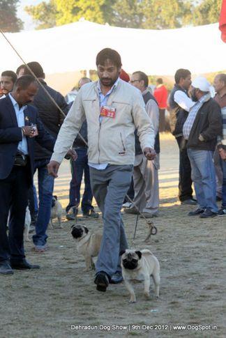 ex-22,pug,sw-73,, AM. CH. ATLANTIS'S TUPELO THE LITTLE PRINCE, Pug, DogSpot.in