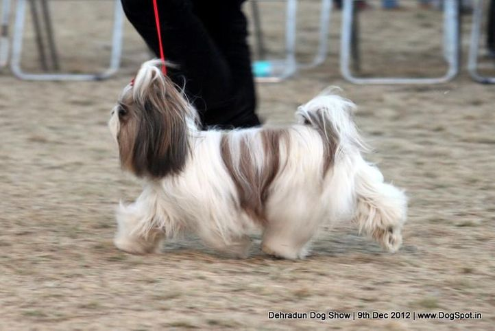 shih tsu,sw-73,, Dehradun Dog Show 2012, DogSpot.in