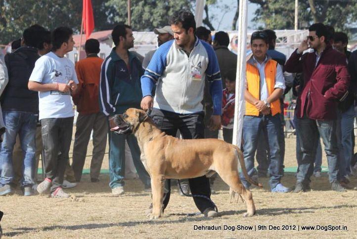 bull mastiff,ex-132,sw-73,, RAJU THE BOY, Bullmastiff, DogSpot.in