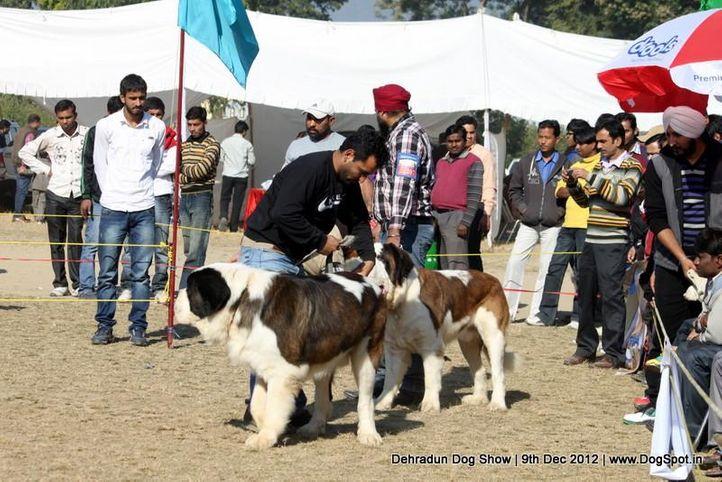 stbernard,sw-73,, Dehradun Dog Show 2012, DogSpot.in