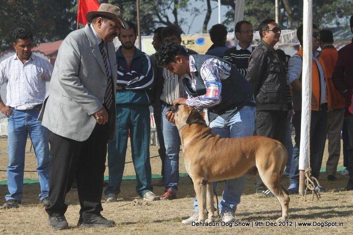 bull mastiff,ex-134,judging,sw-73,, ROZER, Bullmastiff, DogSpot.in