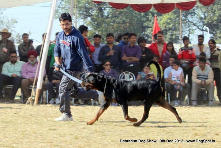 ex-178,rottweiler,sw-73,, RAICO OF NEHMAN, Rottweiler, DogSpot.in