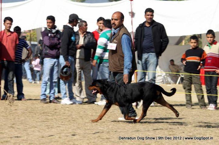 ex-180,rottweiler,sw-73,, ROSY'S BORN TO KILL, Rottweiler, DogSpot.in
