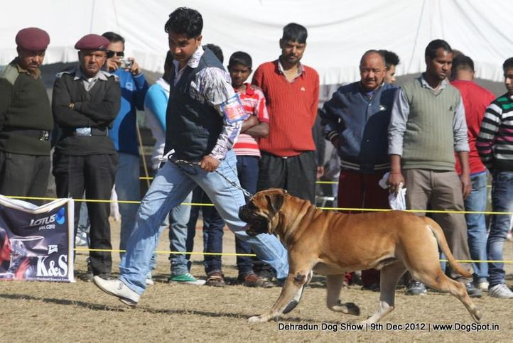 bull mastiff,ex-134,sw-73,, ROZER, Bullmastiff, DogSpot.in