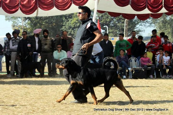 ex-185,rottweiler,sw-73,, MORRO VOM HAUSE ESELSTEIN, Rottweiler, DogSpot.in