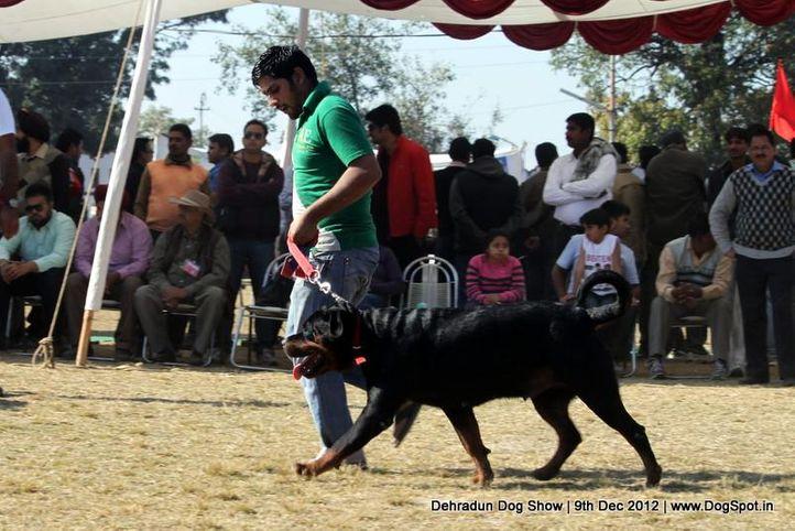 ex-192,rottweiler,sw-73,, RUBINA, Rottweiler, DogSpot.in