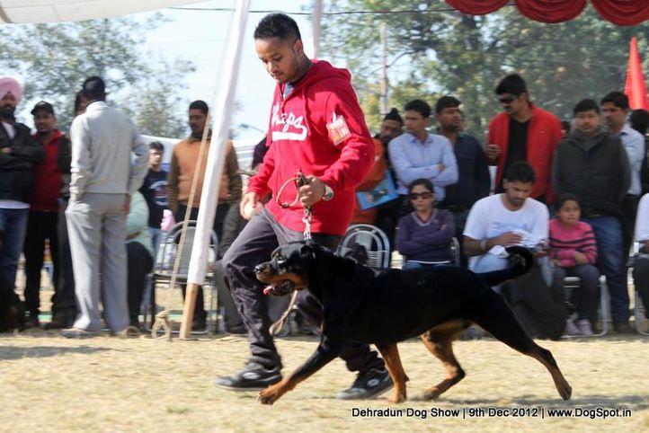 ex-195,rottweiler,sw-73,, CHARMING DOLL, Rottweiler, DogSpot.in