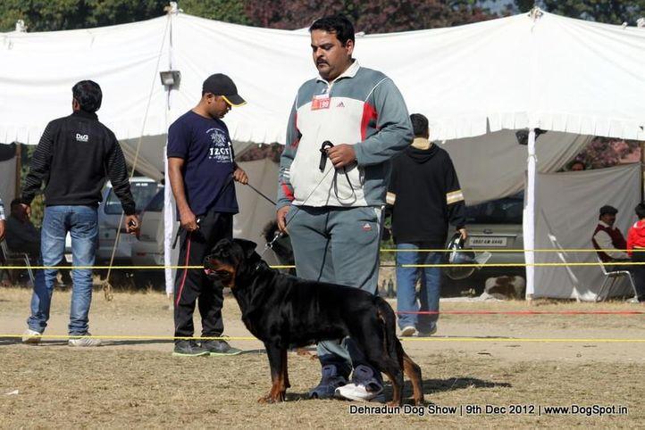 ex-199,rottweiler,sw-73,, NIKITA GERMAN LINE, Rottweiler, DogSpot.in