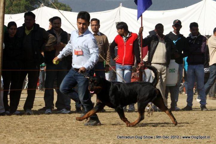 ex-197,rottweiler,sw-73,, GIVO OF CARNIVOS, Rottweiler, DogSpot.in