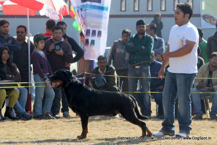 ex-196,rottweiler,sw-73,, UGO VON HAUS ENGEL, Rottweiler, DogSpot.in