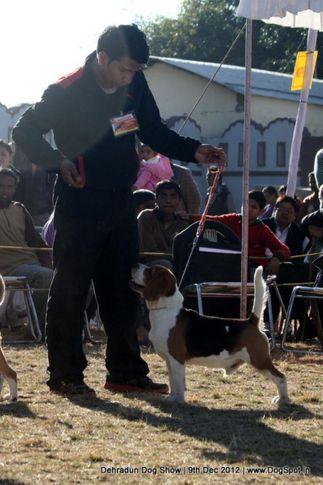 beagle,ex-54,sw-73,, RAZA, Beagle, DogSpot.in