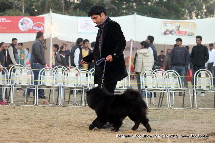 chow chow,sw-73,, Dehradun Dog Show 2012, DogSpot.in