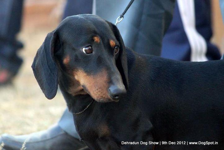 dachshund,sw-73,, Dehradun Dog Show 2012, DogSpot.in