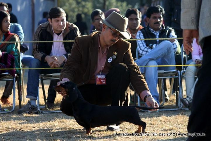 dachshund,ex-73,sw-73,, CH CHANJI'S WHOS THE BOSS , Dachshund Standard- Smooth Haired, DogSpot.in