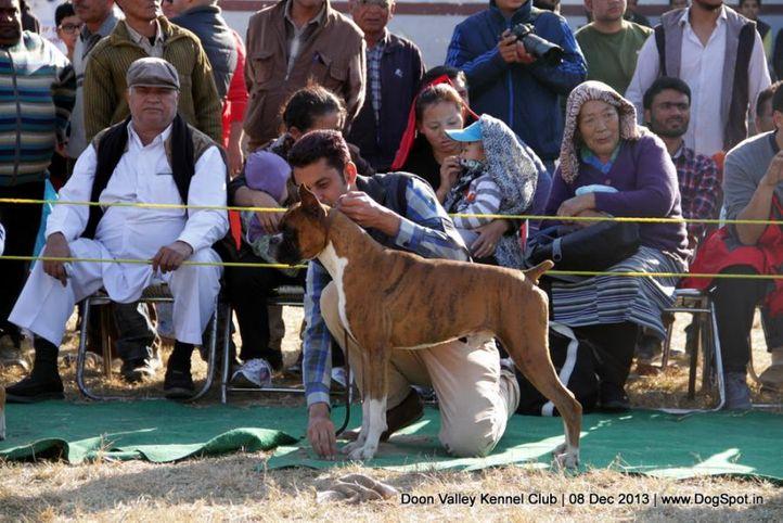 boxer,sw-103,, Dehradun Dog Show 2013, DogSpot.in