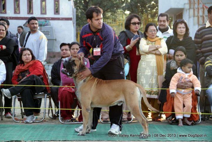 bullmastiff,sw-103,, Dehradun Dog Show 2013, DogSpot.in